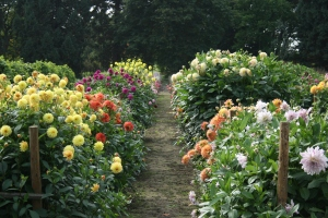 This is the Dahlia trials bed in early October - awash with colors.