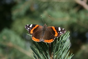 A lovely Red Admiral sunning itself in the late autumn sunlight.