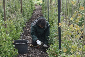 Not very glamorous, but weeding in the gooseberry collection needed to be done.