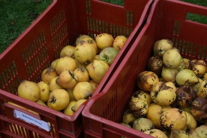Crates of quinces glowing like yellow sapphire gems in the dreary day.