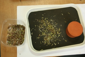 Gently crushing the Amsonia seed pods with a rubber stopper, so that  the seeds will slip out of the chaff easier.