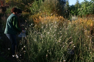 Here Rachel and I are collecting Gaura seeds in the much appreciated autumn sunshine.