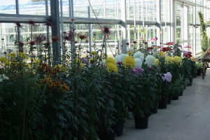 Chinese and Japanese chrysanthemums waiting patiently in the wings.