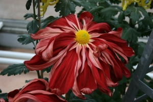 This deliciously droopy chrysanthemum was one of my favorites.