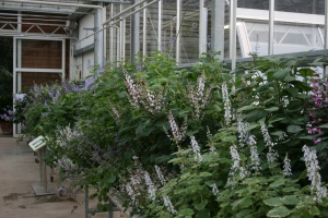 Plectranthus trial display in full billowy bloom.