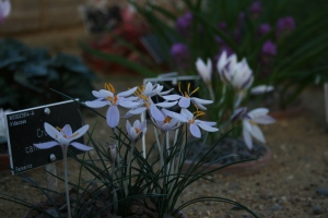 The delicate Crocus flowers looked as if they would float right into the air.