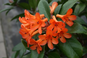 Vireya is a subgenus of Rhododendron and are found in Southeast Asia and Australia.