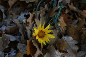 What a weird sight: a frosted Gazania covered with oak leaves.
