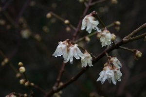Chimonanthus praecox, a ghostly looking flower with a haunting fragrance, blooming at Oxford Botanic Garden.