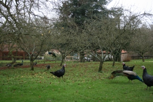 The peacocks and turkeys loved roaming around in the orchard.