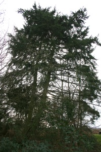 Kenneth planted this Douglas Fir when he was in his 20's.