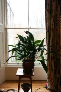 This perfect specimen of Aspidistra rightly deserves center stage in the window.