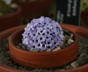 "This Dionysia afghanica is only 1.5"" wide and 11 years ago it was as big as a pinky fingernail - cute!"