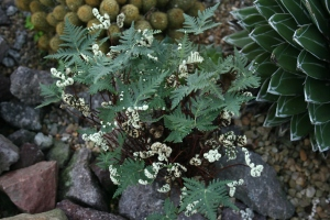 There is desert fern Notholaena standleyi in the Arid Lands House. RBGE