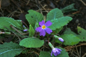 Also braving the cold is Primula sibthorpii. RBGE