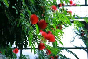 The flowers of Calliandra haematocephala are wonderfully soft and I like the very cheery red. GBG