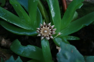Not a flower, but a seed pod of Glottiphyllum angustum. GBG