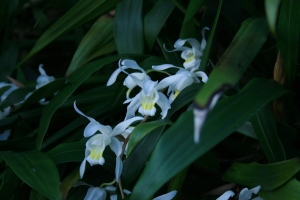 This lovely thing is hybrid orchid Coelogyne 'Unchained Melody'. GBG
