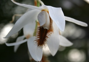 This beardy orchid is Coelogyne barbata. GBG