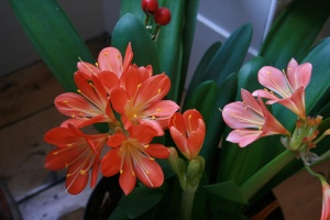 The Clivias in the living room continue to bloom and bloom!