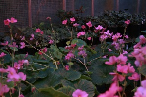 There is a bench full of Begonia socotrana grown from wild collected seed from a collecting trip during the 1990's. RBGE