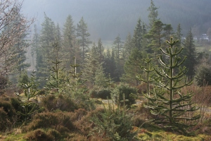Here are some young Araucaria trees in the Chilean Garden at RBGE Benmore.