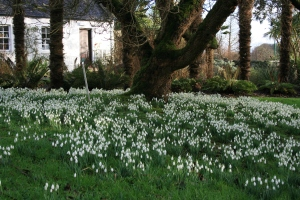 This quaint bed of snowdrops had my swooning all day. RBGE Logan.