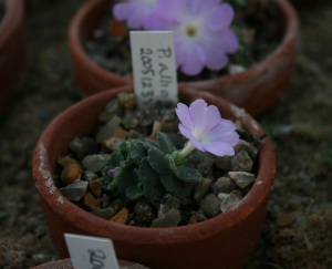 Here is another Primula allionii. It's so tiny!