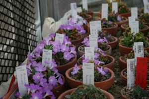 Primula allionii beginning to flower in the backup alpine houses.