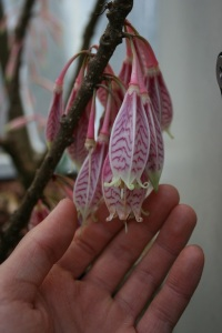 This is Agapetes variegata var macrantha and I've never seen such big flowers on this genus before!