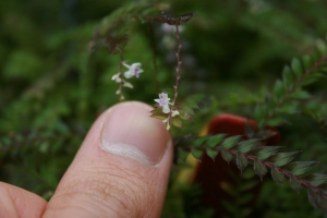 This teeny weeny orchid might be an Appendicula sp. (Thanks Marc for the partial ID.)