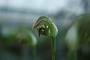 This Pterostylis hybrid, 'Nodding Grace', reminds me of a thirsty goblin.