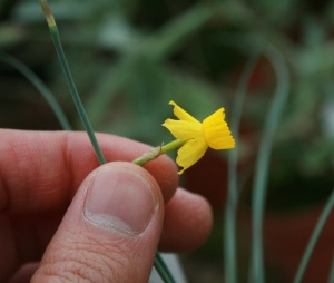 A tiny Narcissus, possibly Narcissus assoanus.