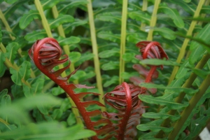 I think this is Blechnum orientale, but whatever it is the new fronds are glorious!
