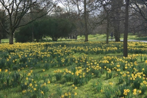 With my first day at Kew I was greeted by huge swatches of fresh daffodils cheerfully popping up in the lawns.