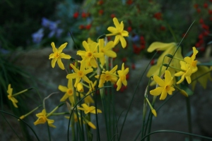 I love delicate and wonderfully scented Narcissus jonquilla and luckily there were dotted about and in full bloom.