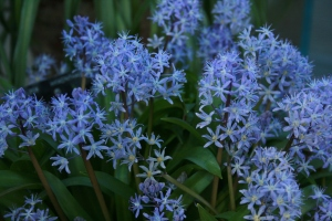 This froth of pale-blue stars belongs to Scilla messeniana.