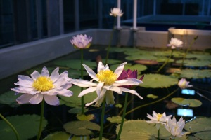 There is something so magical about waterlilies rising from the murky depths.