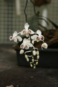 Labeled as Phalaenopsis schilleriana - which I don't think it is - isn't your typical moth orchid.