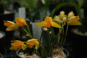 Lycaste aromatica smells amazingly like the fiery cinnamon candy Red Hots.