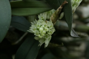 I love the little head of light green flowers on Dendrobium capituliflorum.