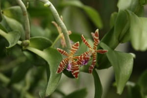 The flowers on Trichoglottis smithii looked like exotic sea stars and it gave off a strong sweet and spicy fragrance.