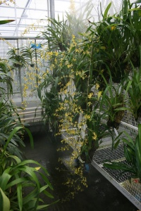 This Oncidium baueri had three flowers spikes that were at least 6 feet long!