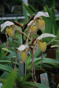 I love the contrast between the black hairy stem/ovary and the blonde flowers on Paphiopedilum philippinense.