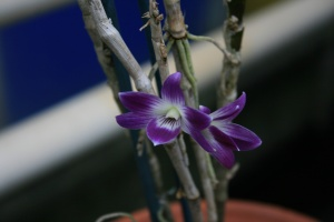 These regal purple flowers belong to Dendrobium victoriae-reginae named after Queen Victoria.