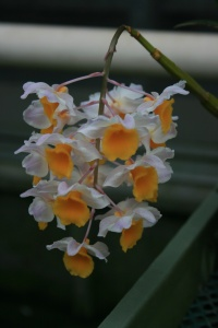 An unknown Dendrobium, but the color of a good fried egg.