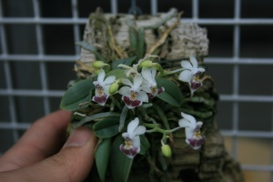 This little cutie is a Phalaenopsis! Phalaenopsis parishii to be exact.