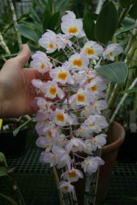 The springy colors of Dendrobium amabile was perfect for Easter.