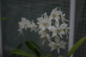The fragrance of Caularthron bicornutum was wonderfully soft and floral, kind of like baby powder with a touch of musk.
