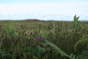 Here is a closeup of the heathland. Everything is low to the ground and full of heathers.